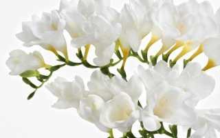 Свадебный букет из фрезий: изысканные цветы для романтичной невесты